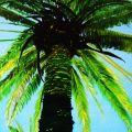 La palma del Cavalluccio marino