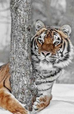 tigre meravigliosa tigre