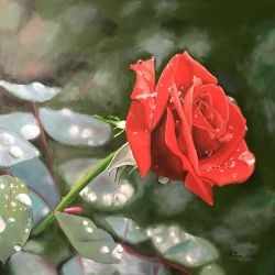 Rosa dopo la pioggia
